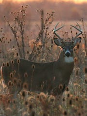 Many bucks travel when hunters enter and leave the woods.