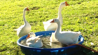 """The five geese are named after characters on """"I Love Lucy."""" Lucy came first, then Ricky, and their offspring, Fred, Ethel and Mrs. Trumbull, the Ricardos' neighbor and babysitter."""