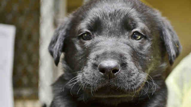 Russell, a Lab mix, and more than 25 other Valley puppies will play as part of the free Puppy Bowl Cafe in downtown Phoenix, part of Super Bowl Central this week. And then they'll be up for adoption on Super Bowl Sunday.