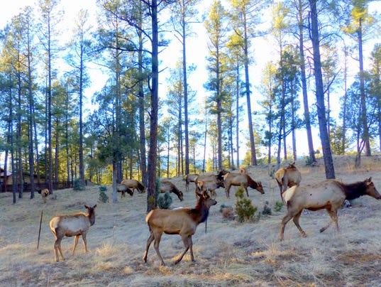 elk herd in ruidoso
