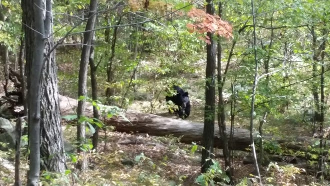 In this Sept. 21, 2014 photo taken by hiker Darsh Patel and provided by the West Milford Police Department, a bear approaches 22-year-old Patel in New Jersey's Apshawa Preserve. Patel was mauled to death by the bear shortly after the photo was taken. (AP Photo/Darsh Patel via West Milford Police Department)
