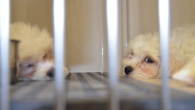 Some of the puppies resting following their rescue by police from inside a van behind Just Pups in Paramus in 2016