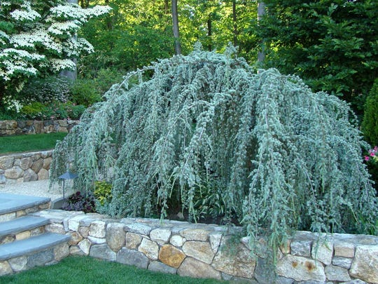 A beautiful blue weeping Atlas cedar can be a magnificent sculptural focal point in any setting.