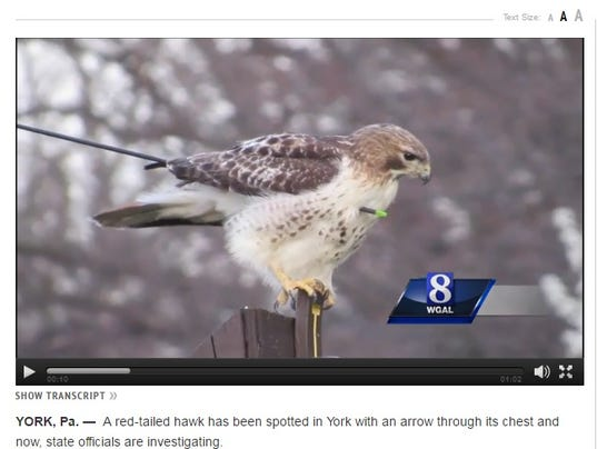 Wounded red-tailed hawk