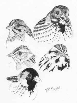 tall grass sparrows illustrated by Terry Maxwell.
