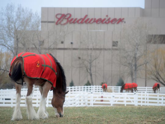 Clydesdales graze at the Anheuser-Busch Fort Collins