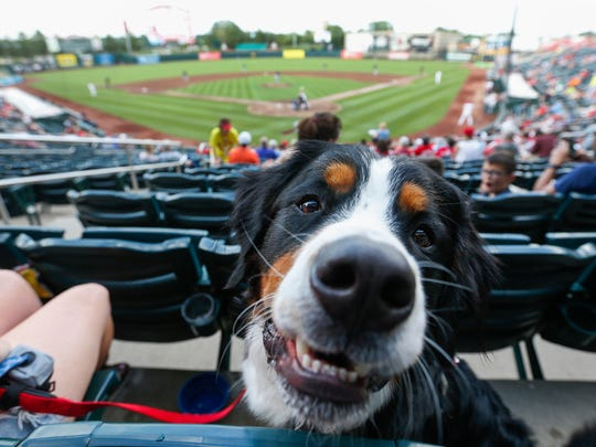 Guinness, a Burnese Mountain dog, takes in the Cardinals