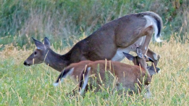 A doe white-tailed deer kicks away her twin fawns, which in late September were still trying to suckle her along a field edge in New Haven. Because of this year's extremely mild winter, Vermont wildlife officials estimate the statewide deer herd numbers about 145,000, an increase of 20,000 from last year.