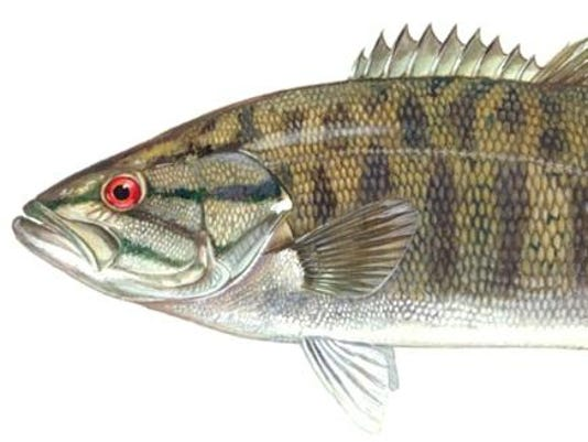 Small Mouth Bass (2)