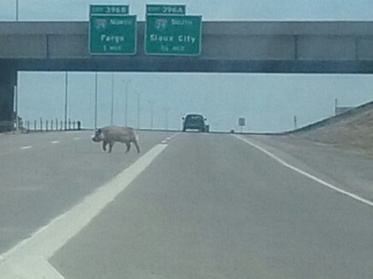 Wally the pig after his escape from a cattle truck