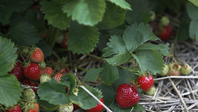 Strawberries ripen on the vine at Chase Farms in Fairport in 2015.