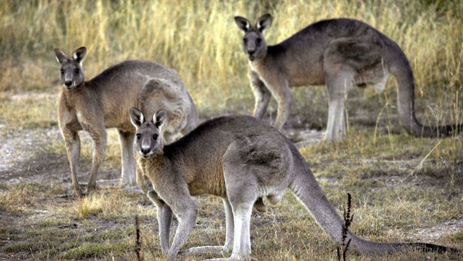 FILE - In this March 15, 2008, file photo, grey kangaroos are seen at the Belconnen Naval Transmission Station near Canberra, Australia. The AP reported on Sept. 1, 2017, that a story claiming kangaroos are being released into the wild in Wyoming is a hoax.