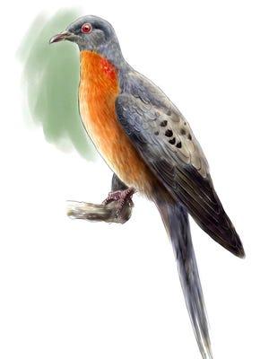 A digital illustration shows the extinct North American passenger pigeon.