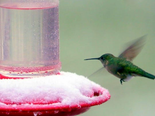 A late spring snowstorm didn't deter the annual visitors to photographer David Tremblay's feeder. Several hummers braved the snow and survived the ordeal.