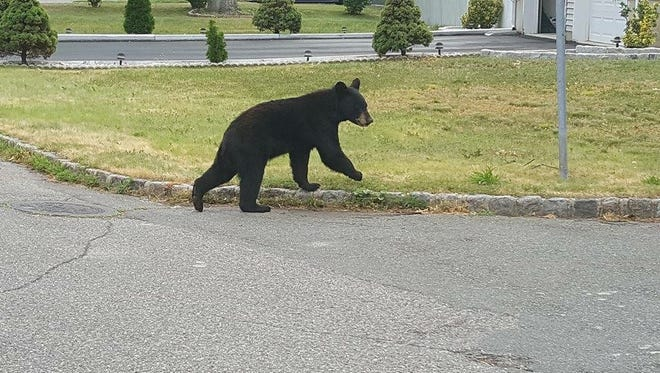 This file photo shows a bear that was spotted earlier this summer in Lake Parsippany. A mother bear and two cubs were trapped by state agents Wednesday in Rockaway township.