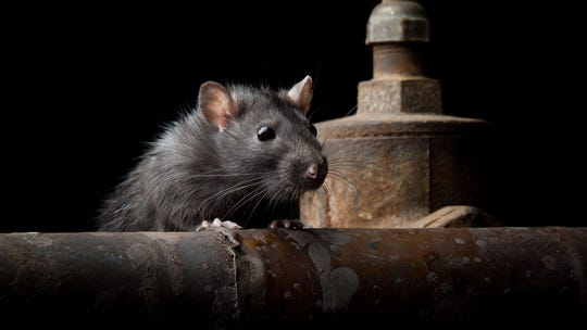 New York City removed 110 trash cans. Now garbage is overflowing and the rats are 'running wild'
