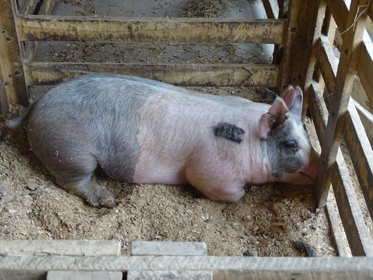 Tattooed and tired, this hog takes a rest Thursday morning in the Junior Fair Swine Barn on the Coshocton County Fairgrounds.
