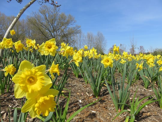Thousands of yellow daffodils were in full bloom at
