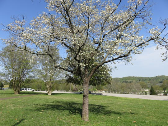 One of the older dogwood trees at Lakeshore Park.