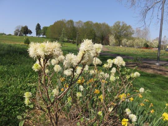 A fothergilla plant at Lakeshore Park.
