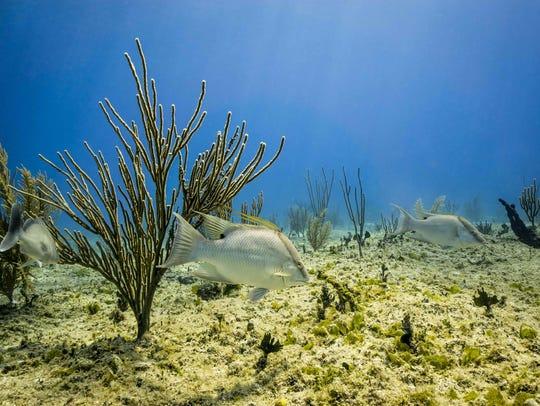 Hogfish near Memory Rock in the Bahamas
