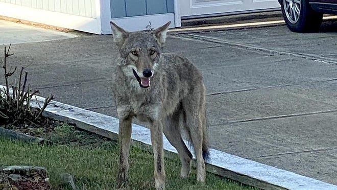 There have been 34 calls to police since June about a coyote sighting in the populated north end of Tiverton.