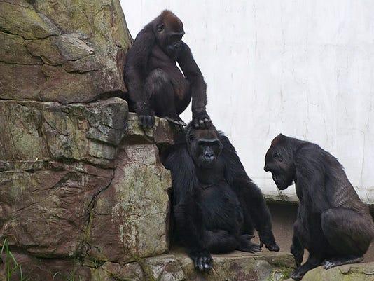 Zoo Gorilla Death