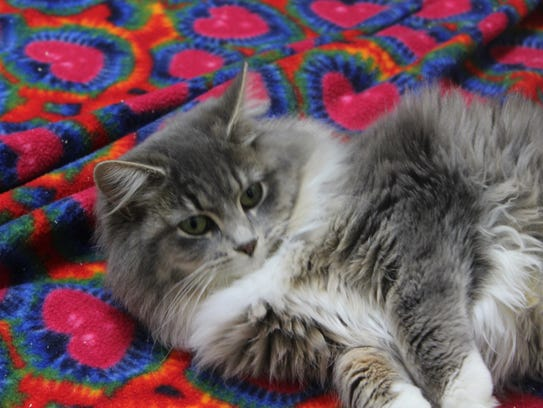 A cat rolls on a blanket at the Humane Society of Portage