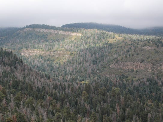 Dead conifers in the Sandias are easily spotted.