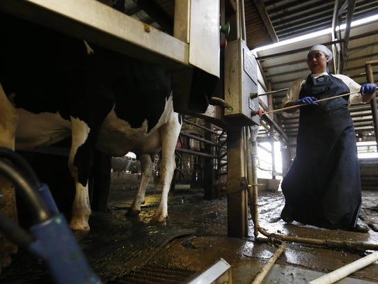 Rosalva Hernandez loads cows into milkers at the Maassen
