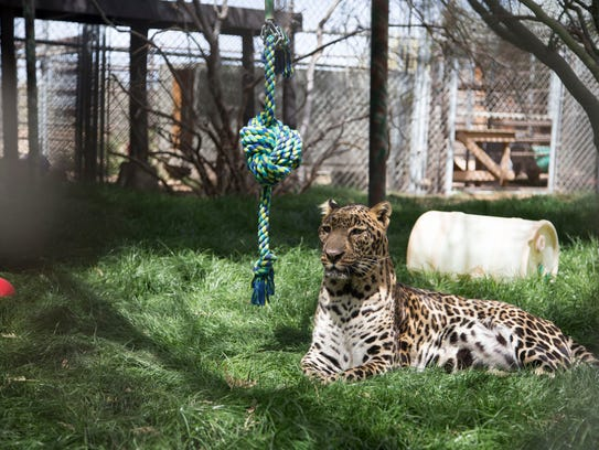 Leo the jaguar resides at the Southwest Wildlife Conservation