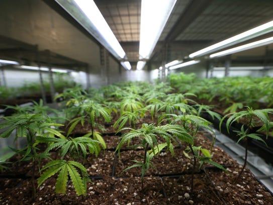 Cloned plants at the Trulieve medical marijuana facility