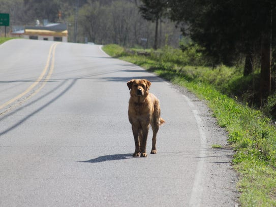An unleashed dog walks along the road into downtown