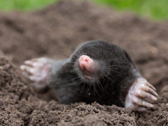 Mole, often responsible for destroying gardens