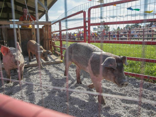 Pigs race in heats during Apple Fest at Stuckey Farm,