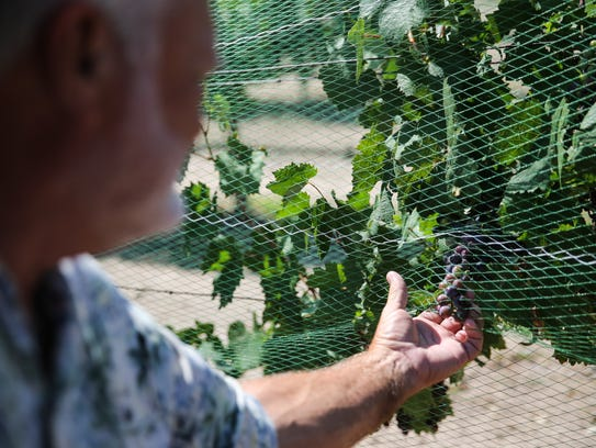 Owner Drex Vincent looks over wine grapes growing on