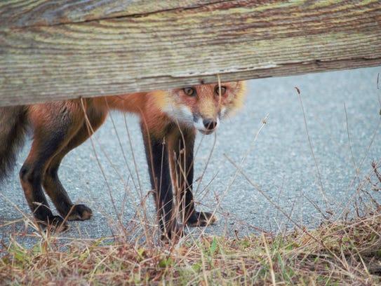 A red fox at Assateague.
