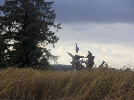 A great blue heron sits atop a stump along the Nehalem