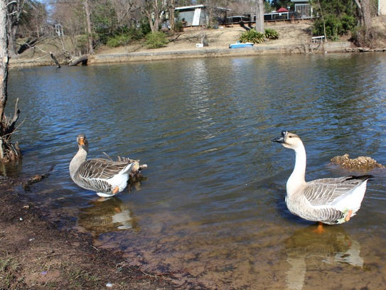 Two geese, each missing a leg, at the duck pond at East Kings Highway in Shreveport.
