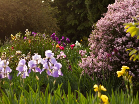 From May 1 through mid June, Brooks Gardens Peonies opens its gardens to the public for free.