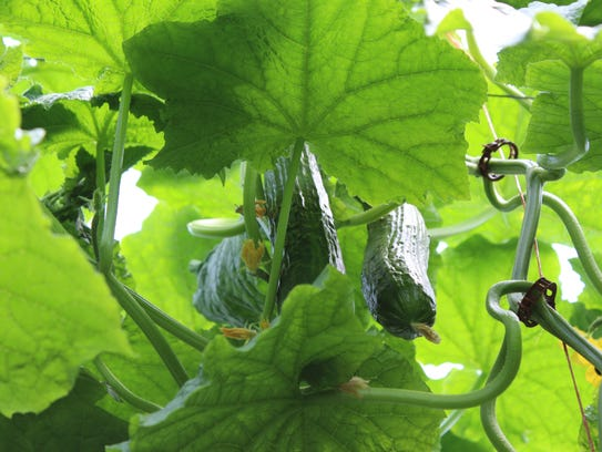 English cucumbers hang from on high inside the greenhouse