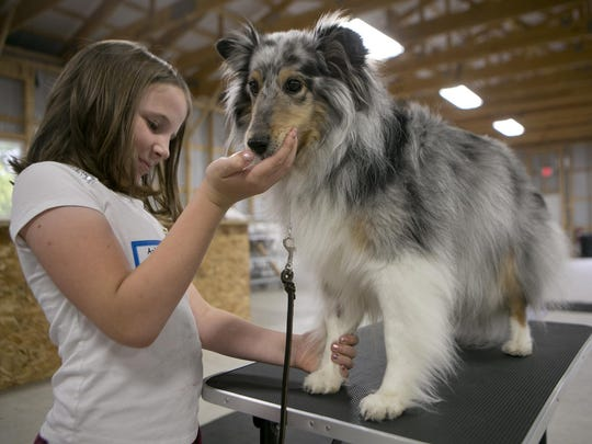 Ashlyn Cywinski, 10, of Plover, feeds her dog Piper a treat Wednesday while she practices stacking before the start of the training session for the Portage County 4-H Dog Project at the Amherst Fairgrounds.