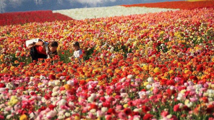 Flower Fields in Carlsbad, courtesy San Diego.org (2)