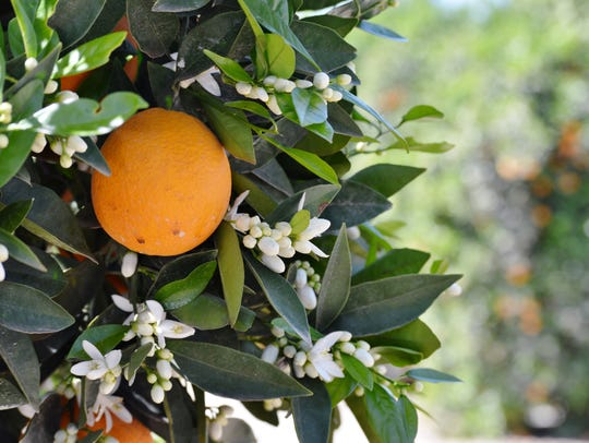 A navel orange hangs from a tree in a McKellar Family