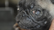Pug with no identification with eye problem.