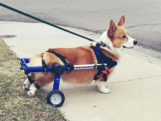 The Newcott Scoop The Adventures Of A Bionic Corgi