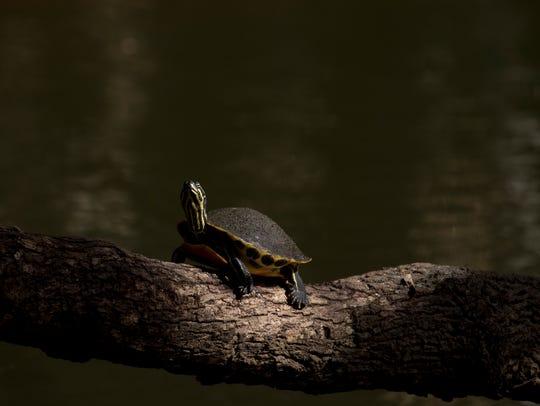A fresh water turtle soaks in the sun on the Estero