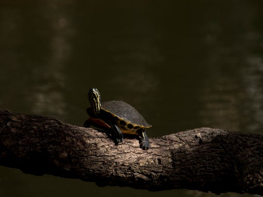 A fresh water turtle soaks in the sun on the Estero River on Thursday 1/25/2018.