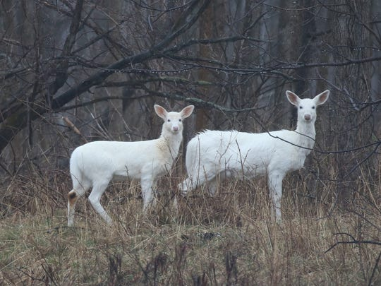 The Seneca white deer have been around for many decades.
