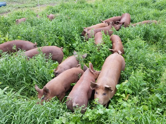 Heritage Red Wattle hogs forage for food at the Johnsons' farm.
